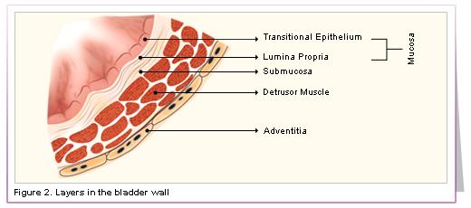 Urinary Bladder Wall Layers